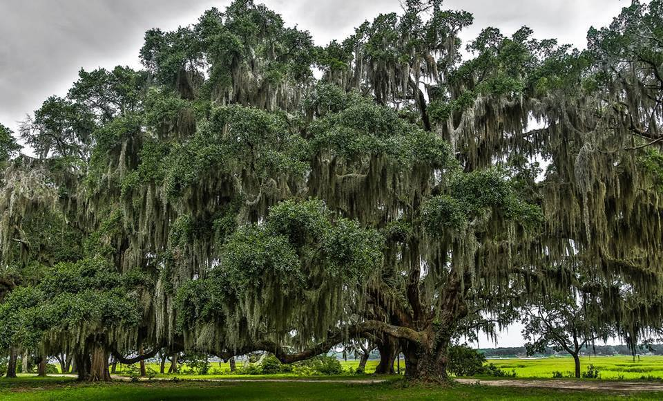 11 things you need to know about Spanish moss