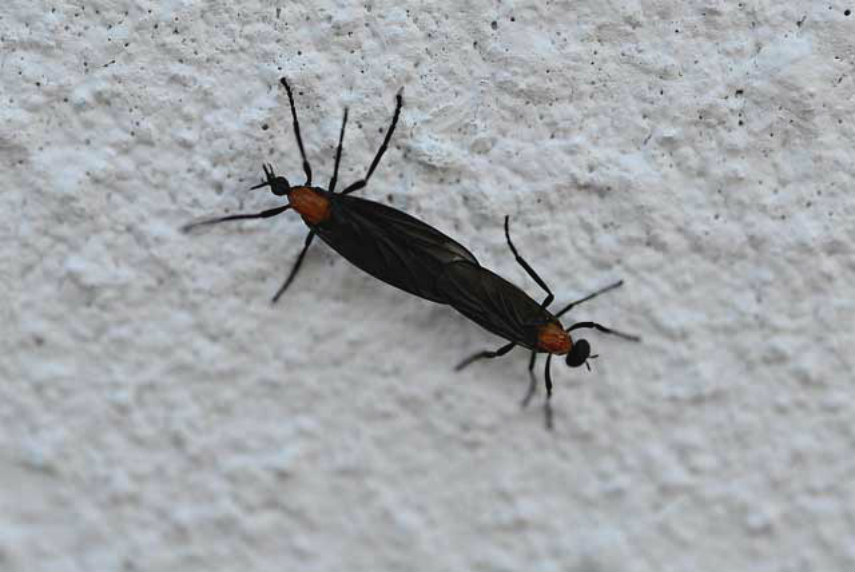 how long do love bugs live in florida