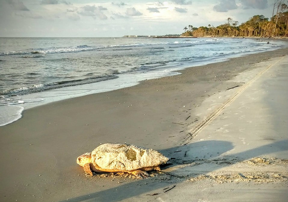 Hunting Island sets record for sea turtle nests this season