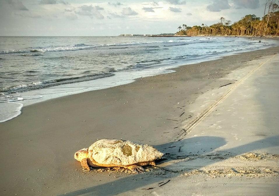 Sea Turtle Nests This Season