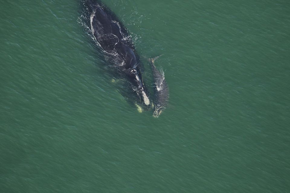 Three new right whale calves spotted off of Southeast coast